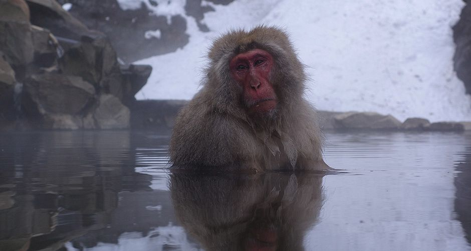 A visit to see the Snow Monkeys soaking in hot springs is a must. Photo: Scout